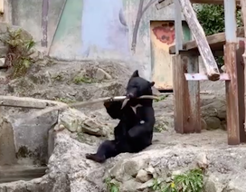 """Video: Gấu """"võ sư"""" múa gậy chuyên nghiệp không thua kém người"""