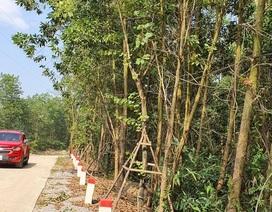 Lộ diện chủ nhân hàng cây hoa ban tiền tỉ trồng ven đường