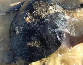 Thả cá thể rùa nặng 100kg về môi trường biển