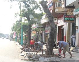 Chi gần 3 tỉ đồng thay thế cây xanh ở trung tâm thành phố Đông Hà