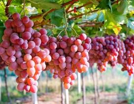 Chủ tịch Hiệp hội Nho tươi Australia sang Việt Nam tiếp thị trái cây