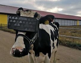 Nga thử nghiệm kính thực tế ảo cho… bò