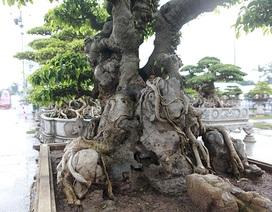 Cây sanh cổ của nghệ nhân Hà Nội được trả 6 tỷ đồng mà chủ nhân vẫn chưa muốn bán