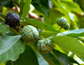 Gan Nhó Kỳ Nam – Sự kết hợp hoàn hảo từ hai vị thuốc quý Nhó đông và Bí Kỳ Nam