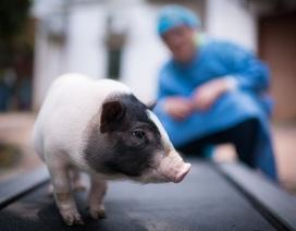 """Trung Quốc trong cuộc đua tạo ra """"siêu lợn"""""""