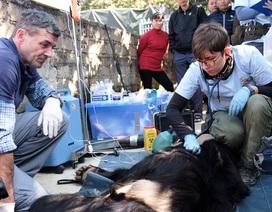 Cứu hộ thành công cá thể gấu ngựa bị nuôi nhốt gần 30 năm