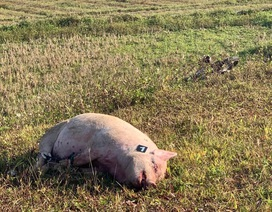 """Bị công an truy đuổi, kẻ trộm nghi """"bỏ lợn chạy lấy người"""""""