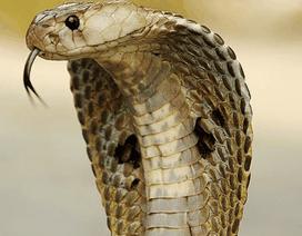 Hú vía vì bị rắn hổ mang rượt đuổi suốt 2 km để trả thù