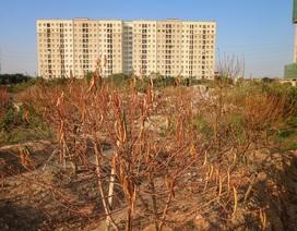"""Người dân bất lực nhìn hàng nghìn gốc đào """"chết khô"""" trước vụ Tết nguyên đán"""