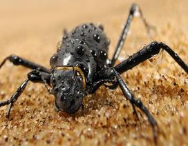Loài bọ sa mạc có thể giúp con người thu thập nước từ sương mù?