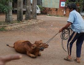 Chuyện lạ Gia Lai: Cấp bò đứng không được cho dân nghèo làm giống!
