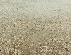 Ngao chết hàng loạt tại nhiều địa phương của Thanh Hóa