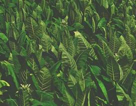 Thực vật cũng có thể phát ra âm thanh khi bị căng thẳng