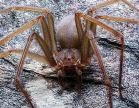 Phát hiện loài nhện độc mới ở Mexico