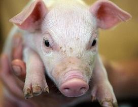 """Lợn trở thành nguyên đơn trong phiên tòa """"độc nhất vô nhị"""" tại Đức"""