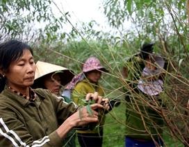 Hà Tĩnh: Tuốt lá đào ngày cuối năm kiếm tiền triệu