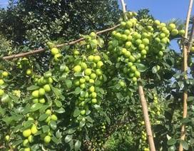 Đồ Sơn: Biến táo dại thành táo lai, quả sai như nho, thu 60 tỷ đồng/năm
