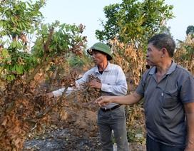 """Nông dân Hưng Yên """"khóc hết nước mắt"""", nhìn vườn cây ăn quả bị đốt trụi"""