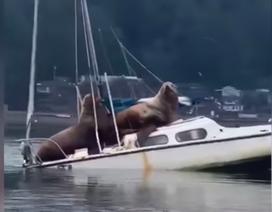 """Cặp hải cẩu to lớn """"hồn nhiên"""" thư giãn trên thuyền buồm nhỏ"""