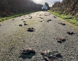 Bí ẩn hàng trăm con chim sáo chết la liệt trên đường quốc lộ