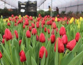 Trồng hoa tulip bán dịp Tết mang lại lợi nhuận kinh tế cao