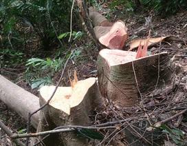 Để xảy ra phá rừng, Hạt trưởng Kiểm lâm bị giáng chức