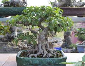 """""""Mãn nhãn"""" với những chậu bonsai mini giá hàng chục triệu đồng"""