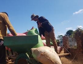 """Nguy cơ """"cây tỉ đô"""" giá trị 6 tỉ USD bị nông dân chặt bỏ"""