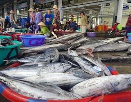 Ngư dân kiếm hơn trăm triệu đồng từ cá ngừ những ngày đầu năm 2020