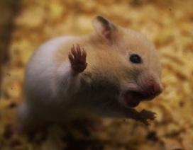 Trước thềm Tết Canh Tý, chuột Hamster bất ngờ được săn lùng ráo riết