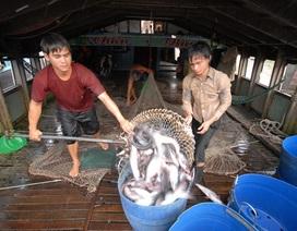 Doanh nghiệp chịu lỗ hơn 600 tỷ đồng để mua cá tra cho nông dân