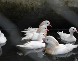 Độc đáo gà quý hiếm, chim quý tộc phục vụ đại gia chơi tết