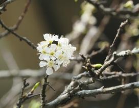 Mận rừng trắng tinh khôi xuống Thủ đô đón Tết