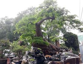 Độc đáo cây me trăm tuổi, được trả giá tiền tỷ tại Sài Gòn