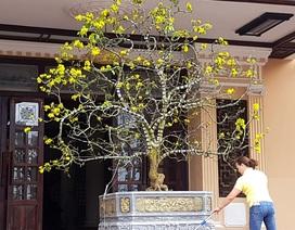 """Chiêm ngưỡng cây mai độc lạ, dáng """"bình phong"""" tại Huế"""