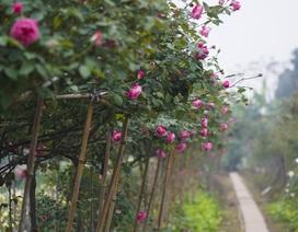 Chiêm ngưỡng gốc hồng cao tuổi giá 70 triệu đồng ở làng hoa Phù Vân