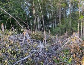 Sở Nông nghiệp nêu nguyên nhân cây rừng phòng hộ bị chặt phá