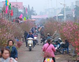 """Đào Nhật Tân bung nở """"nhuộm đỏ"""" rực chợ hoa lớn nhất ở Hà Nội"""