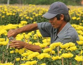 Cận Tết: Vựa hoa cúc đại đóa lớn nhất Phú Yên nhộn nhịp xuất hàng