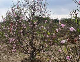 """Đào thi nhau bung nở, người trồng hoa lo """"mất tết"""""""