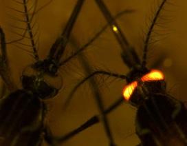 Biến đổi gene ở muỗi mở ra hy vọng kháng 4 loại sốt xuất huyết