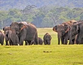 Một số lượng voi kỷ lục đã chết ởSri Lanka