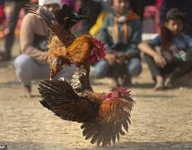 Ấn Độ: Người đàn ông thiệt mạng vì xem chọi gà