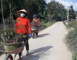 """Bình Định: Phụ nữ nông thôn kiếm bộn tiền nhờ """"bốc"""" mai ngày Tết"""