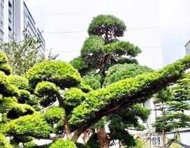 Vườn tùng Nhật hàng trăm tỷ đồng của đại gia giữa khu nhà giàu Sài Gòn