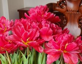 """Quan niệm """"năm kép"""" tài lộc nhân đôi, dân Hà Nội """"săn lùng"""" hoa Tuy Líp nhiều cánh"""