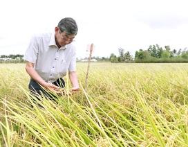 Kỹ sư Hồ Quang Cua - Từ cây lúa lạ đến giống gạo ngon nhất thế giới