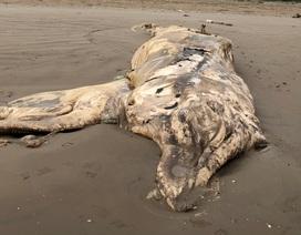 Xác cá voi nặng chục tấn dạt vào bờ biển Ninh Bình