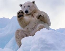 Gấu Bắc cực ở Greenland vẫy tay chào khách du lịch