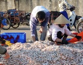 Trúng đậm cá cơm đầu xuân, ngư dân bỏ túi hàng chục tỷ đồng